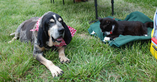 Senior hound dog lounging on the lawn with a friend
