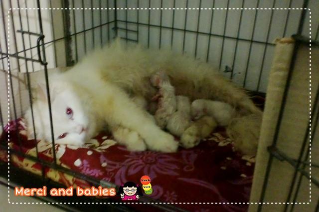 Jual kucing putih lucu murah
