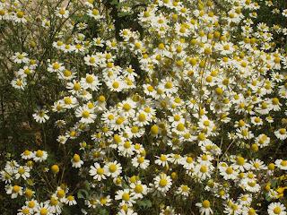 planta y flores de manzanilla