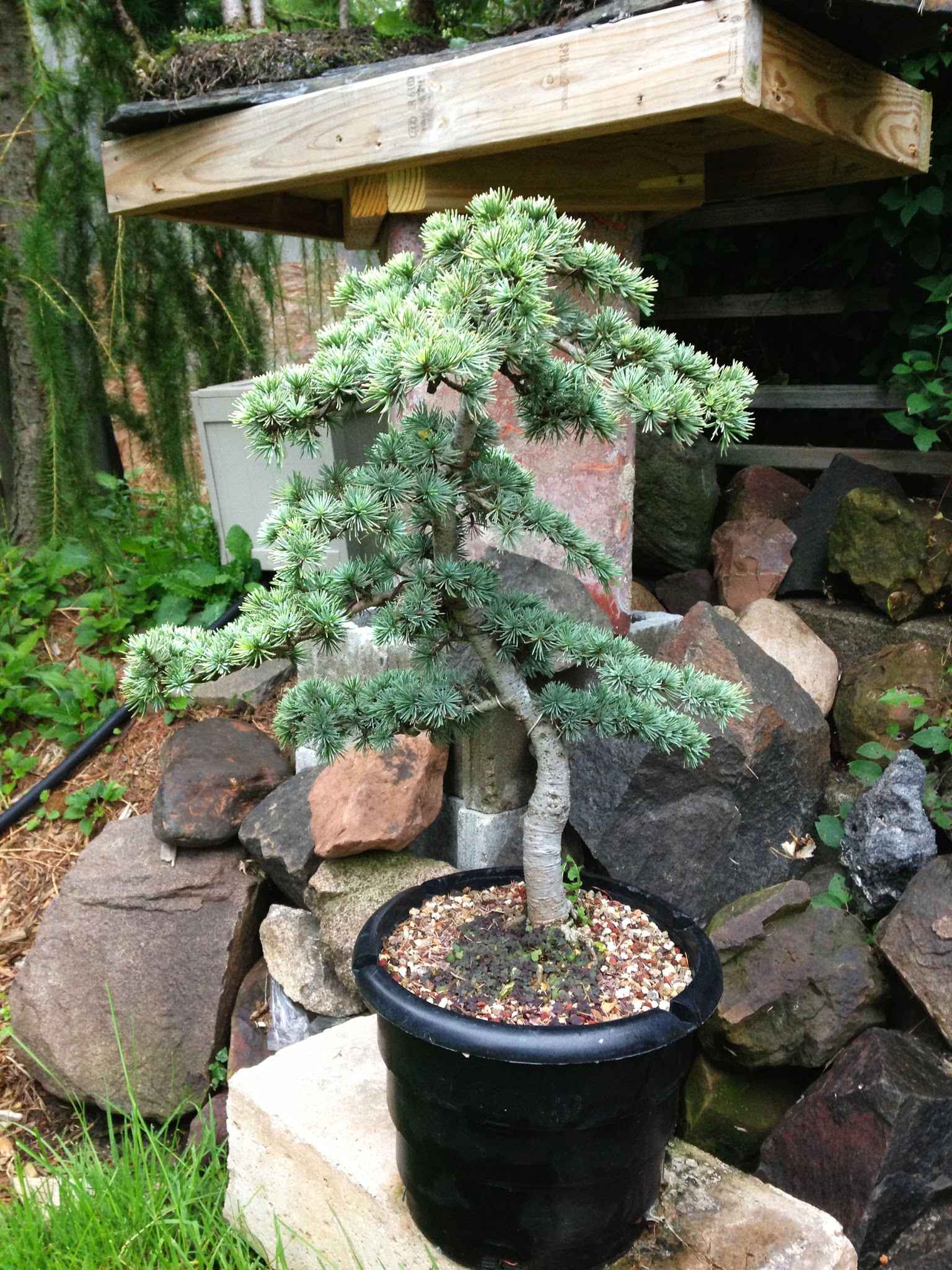 Golden Atlas Cedar Cedrus Atlantica TGT Bonsai