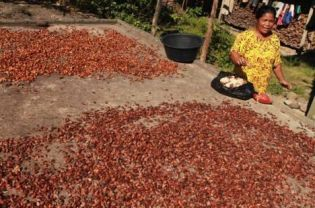 Industry Heavyweights Plan Roadmap to Boost Indonesian Cocoa Output