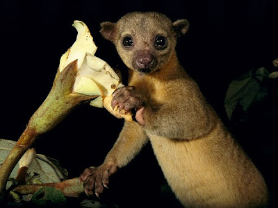 TheJungleStore.com Blog | A Kinkajou is more closely related to racoons than monkeys