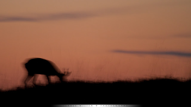 Reebok op heuvel  na zonsondergang - Roe Deer  on a hill after sunset