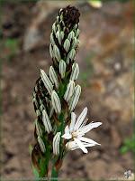 http://plantsgallery.blogspot.com/2014/02/paradisea-liliastrum-paradyzja-liliowata.html
