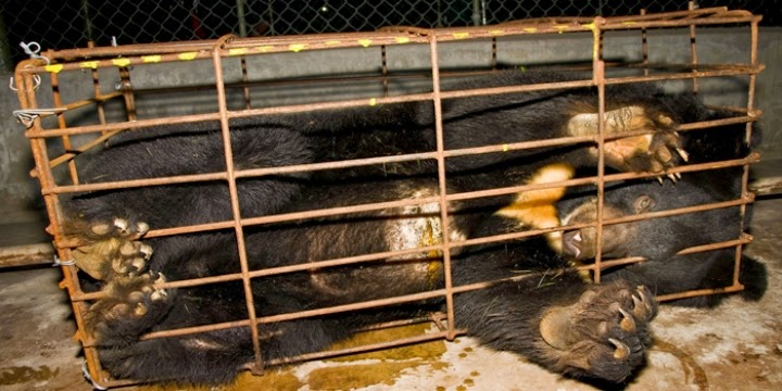 Caged Moon Bear