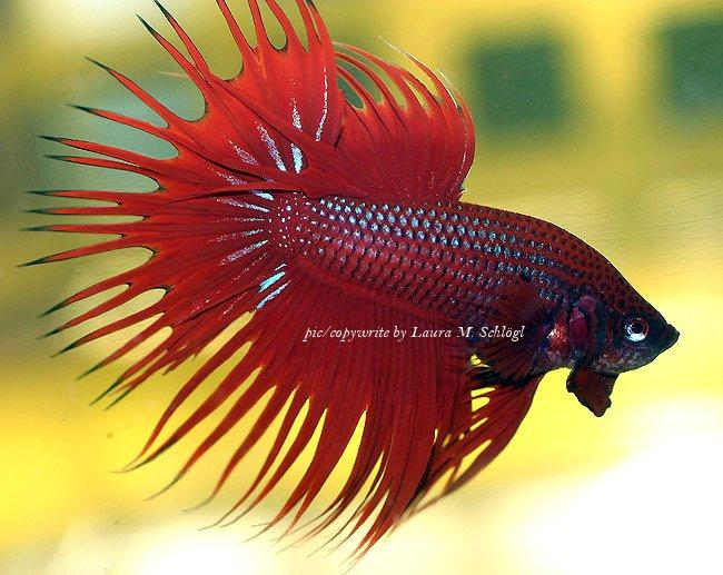 Siamese fighting fish animal wildlife for Japanese fighter fish