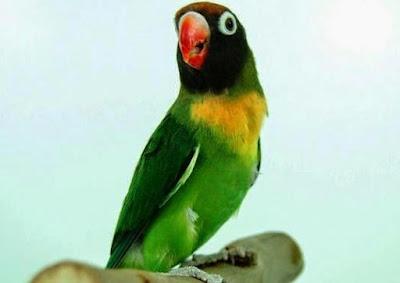Download Suara Burung Love Bird Mp3 Terlengkap 2015