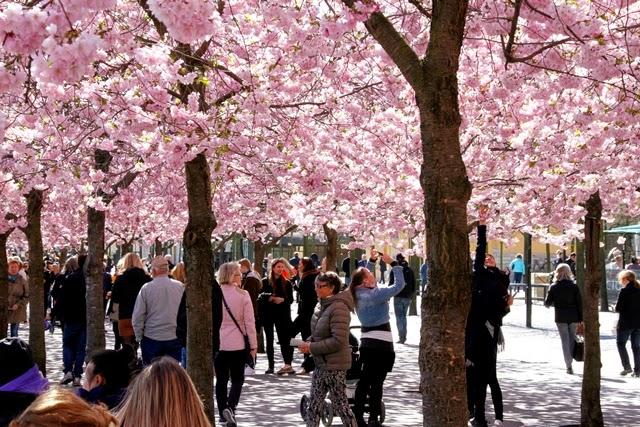 kirsikankukat Tukholmassa