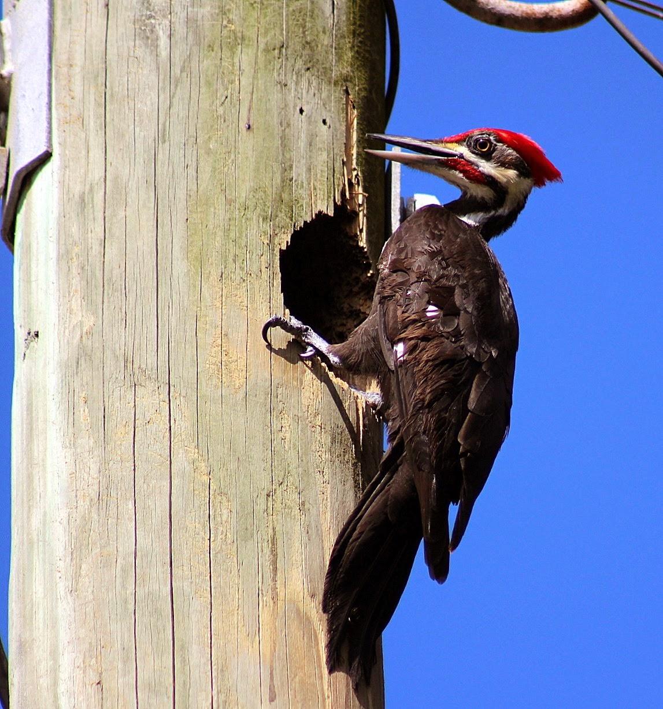Un pique-bois à Sarasota, FL dans un poteau de téléphone !