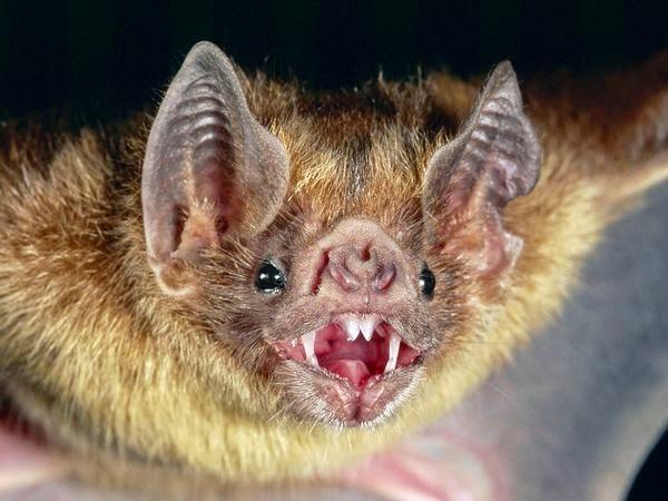 Kelelawar Vampir-Kelelawar Penghisap Darah