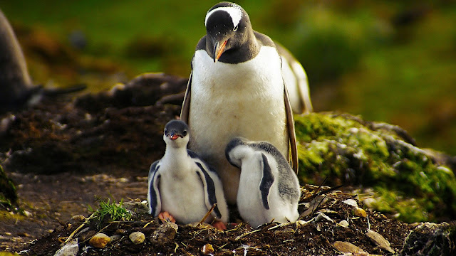 Penguin Mother And Baby Penguin HD Wallpaper
