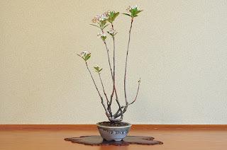 セイヨウカマツカL-2(西洋鎌柄 盆栽)Aronia arbutifolia bonsai