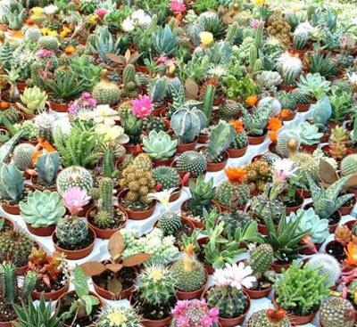 pequeños cactus