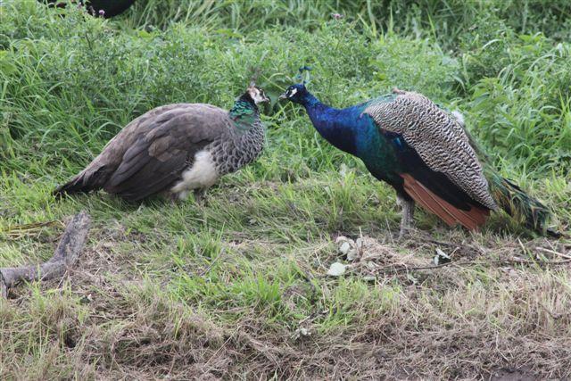 Sexual dimorphism peacock