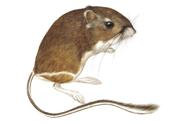 Laberinto en extinción: Rata canguro gigante (Dipodomys ...