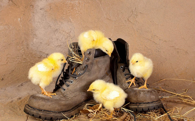 Funny wallpaper with yellow chickens playing with some old shoes