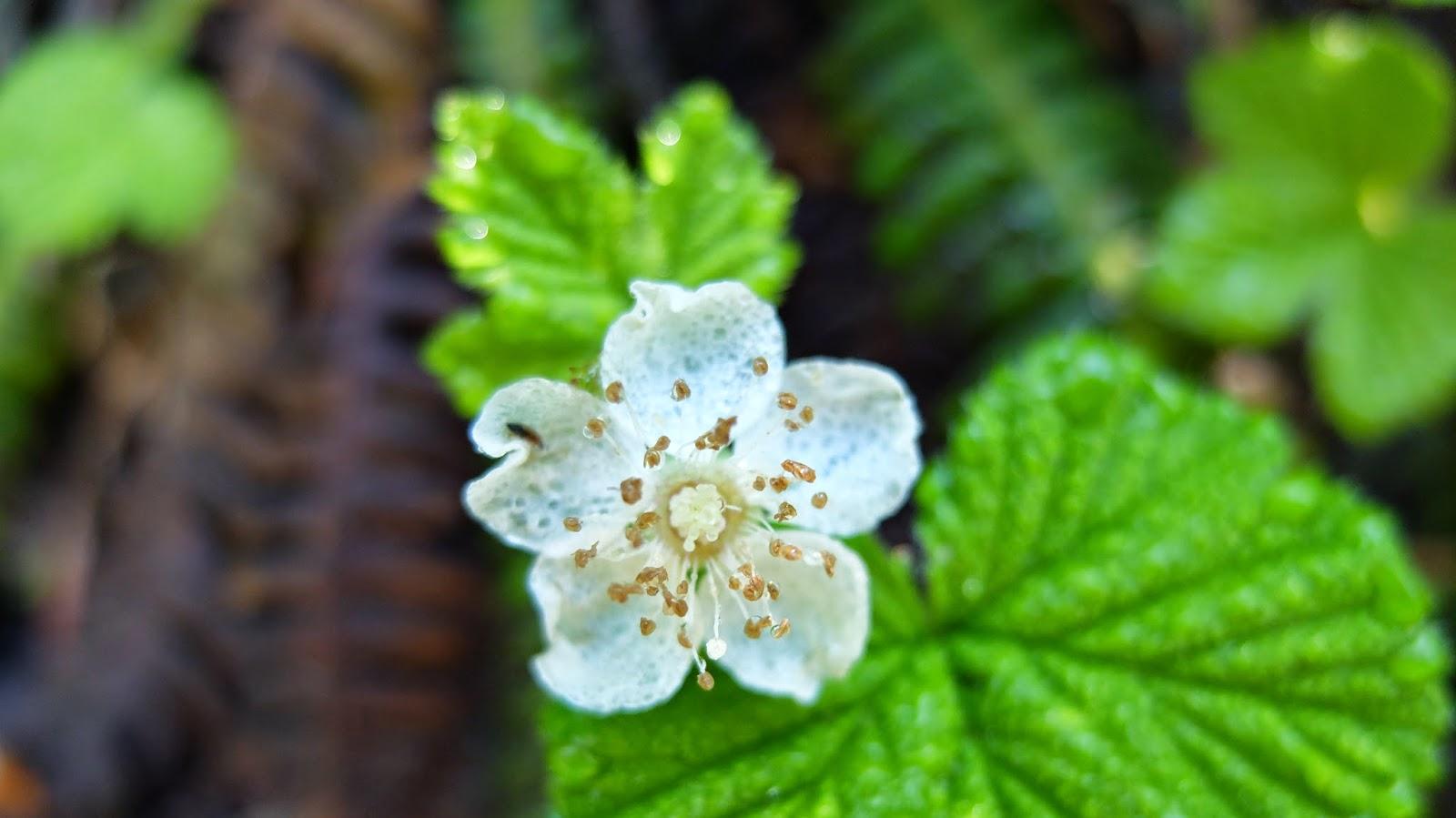 Rubus lasiococcus (Dwarf Bramble)