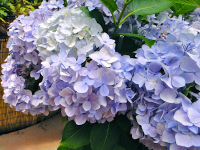 Blue hydrangeas at the Garden of Morning Calm Gapyeong