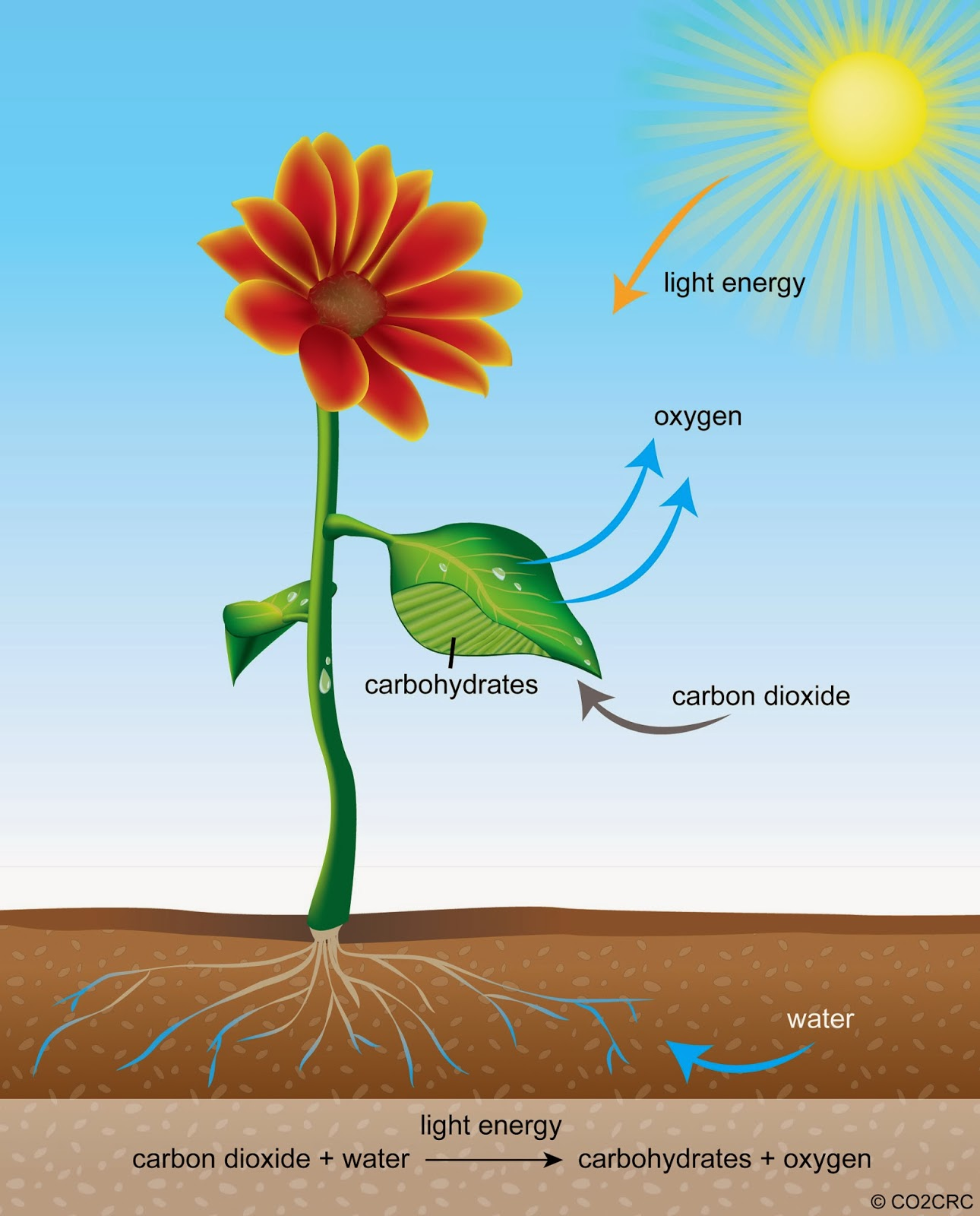 photosythesis plants Photosynthesis is a process used by plants and other organisms to convert light energy into chemical energy that can later be released to fuel the organisms.
