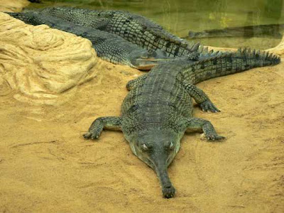 gavial Gavialis gangeticus