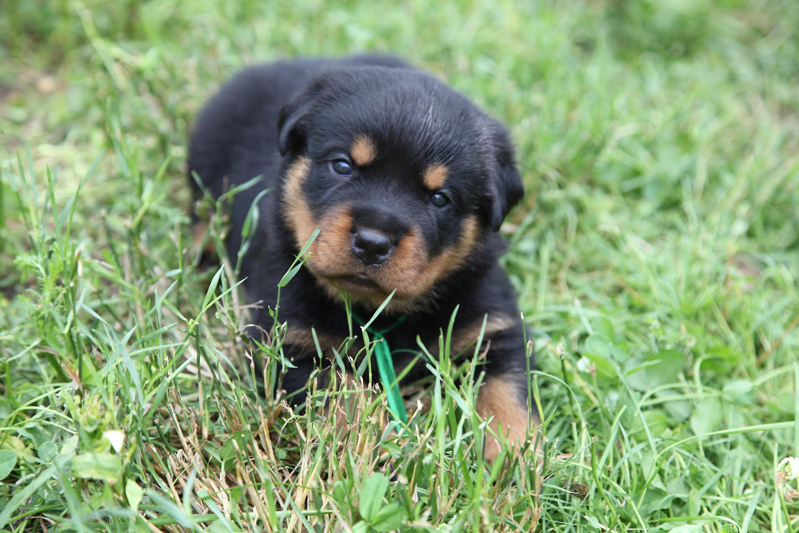 blue rottweiler pictures