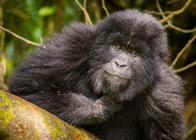Gorilla Glam Shot