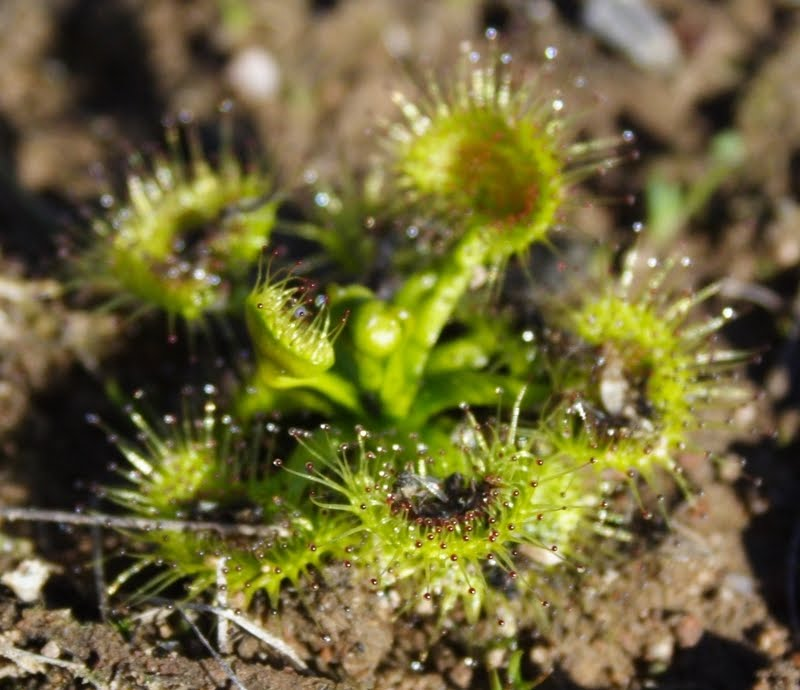 Sundew Plant Eating Plant is Busy Eating a