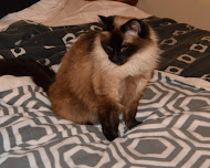 Our Siamese Cat Shelby