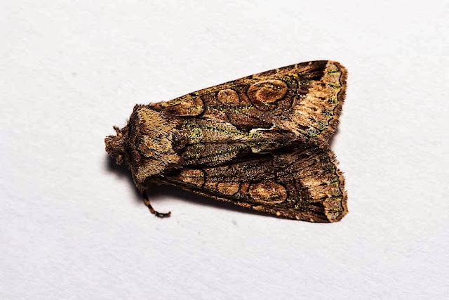 Green-Brindled Crescent - Photographed in Milton Keynes