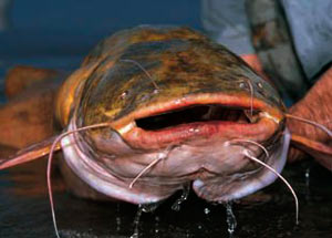 Лов сома на кальмара