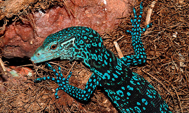 Colorful Pet Lizards Animals I Admir...