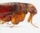 What is the shape of flea insect?