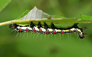 upside down caterpillar (23)