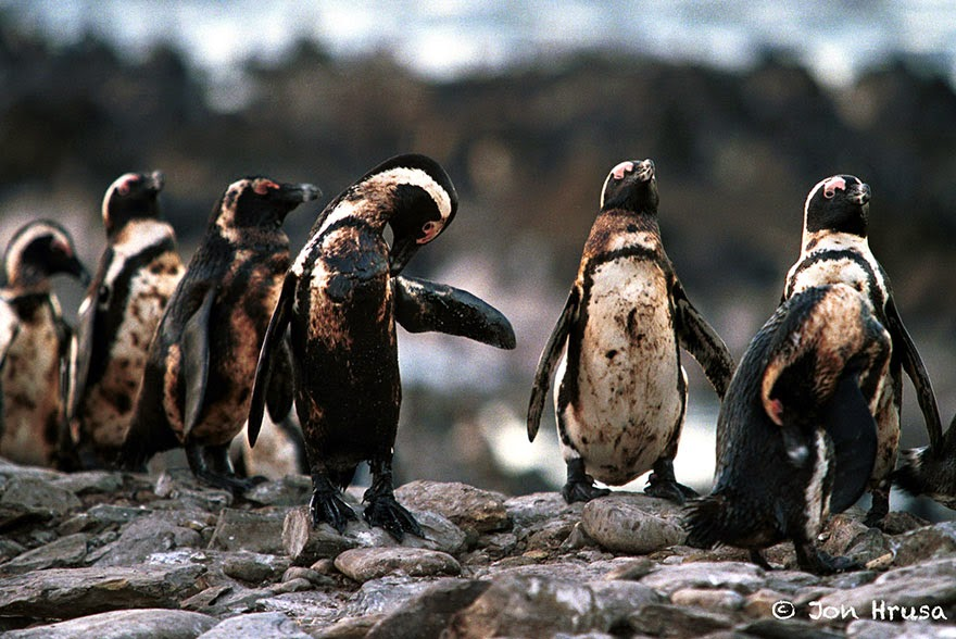 #10 Oiled Penguins - 22 Heartbreaking Photos Of Pollution That Will Inspire You To Recycle