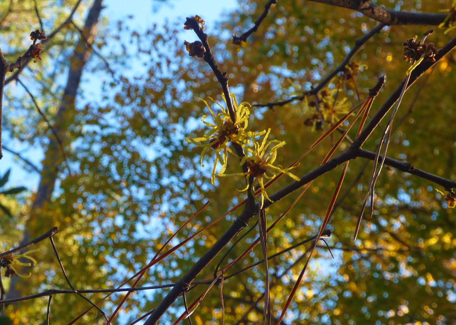 gardens@duke: November Blooms: American Witch-hazel