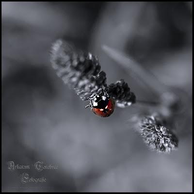 Insektenfotografie Marienkäfer