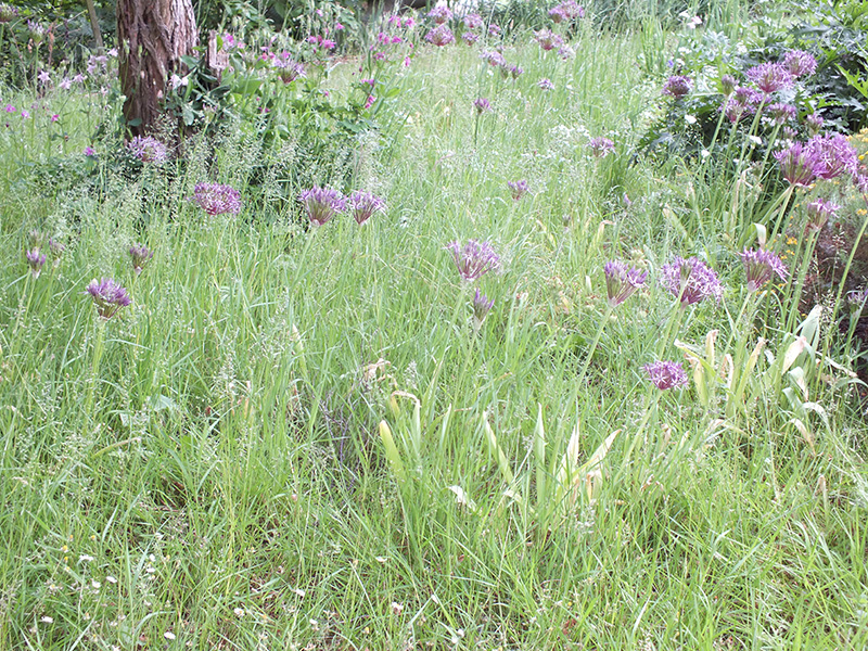 how to make wintergreen grass thicker and fuller