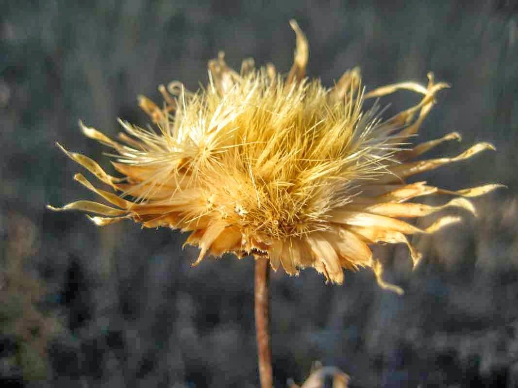 байкальские сухоцветы