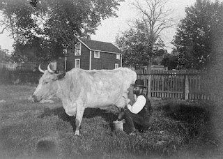 Milking a cow in Shadyside, 1898, Pittsburgh