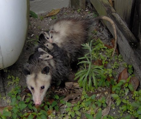 It's Mama Possum and her 3 babies!