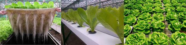 Produsen Terbaik Salad Sayur & Jus Sayuran Hidroponik di Indonesia untuk Diet dan Kesehatan, Amazing Farm dan Amazing Farm