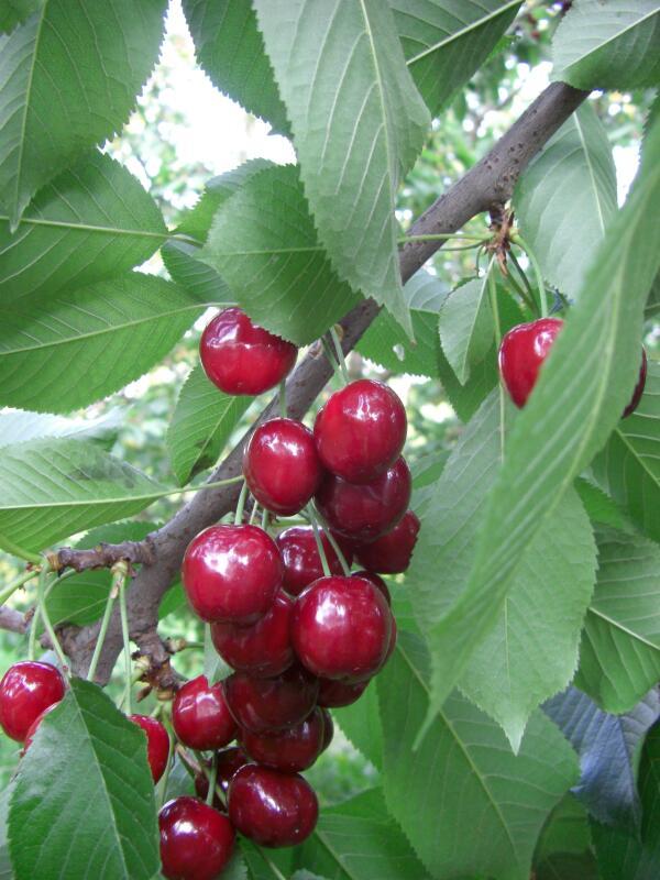 Orto per tutti piante da frutto for Potatura piante da frutto