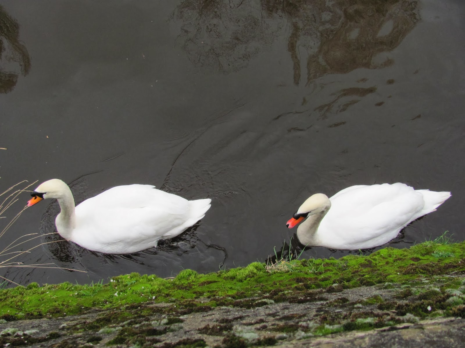 Swans in the Dodder in Dublin