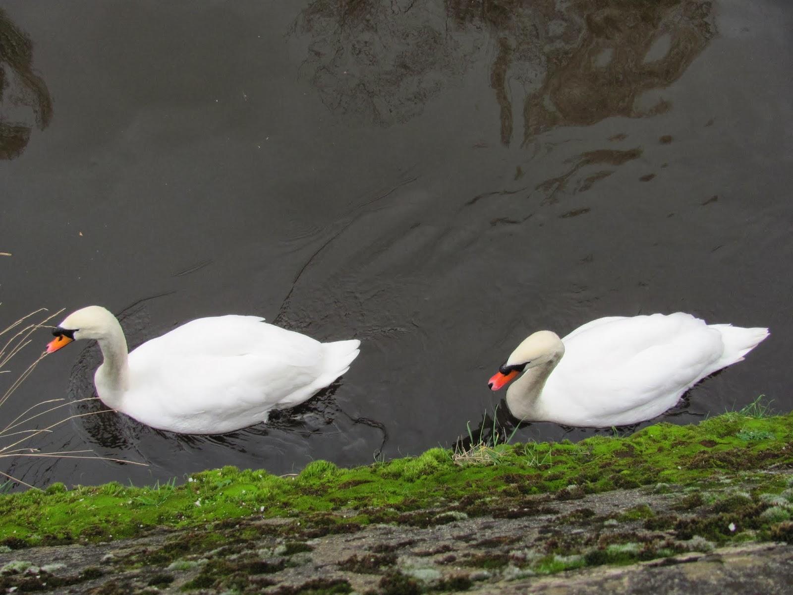 Swans in the Dodder in Dublin