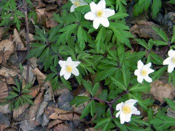 Anemone nemorosa (Anemone dei boschi)