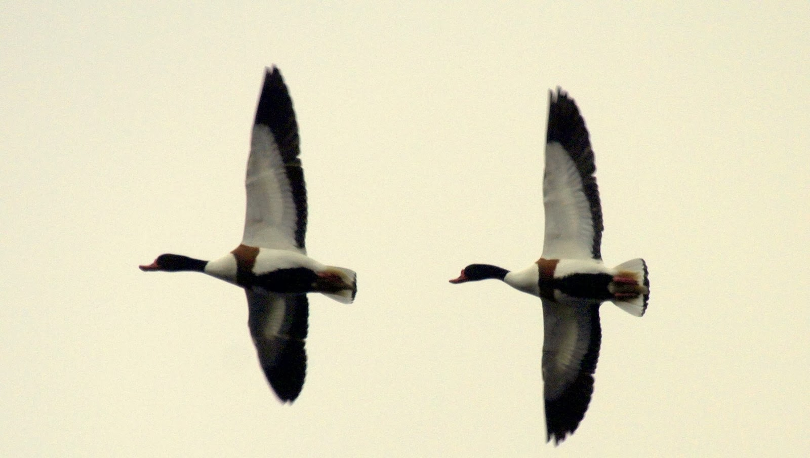 Ogden 2 of 3 Shelduck