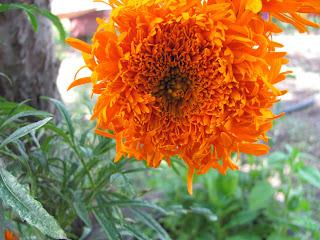 цветы, бархатцы, чернобривцы, осенние цветы, садовые, бордюрные, однолетники
