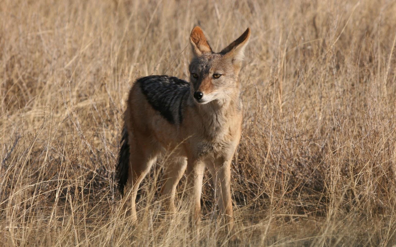 http://1.bp.blogspot.com/-3ClWIMFGJ4g/UHmSvZa9f6I/AAAAAAABT8E/3DZuI5-WCis/s1600/fox-wildlife-animals-wallpaper-11502.jpg