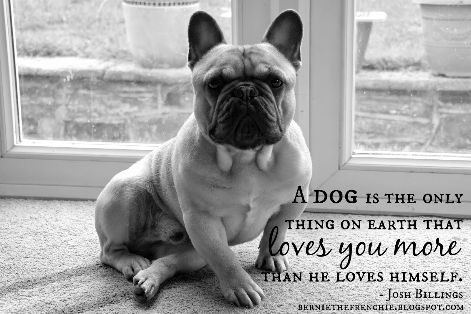Bulldog Quotes Bernie The Frenchie Q Is For Quotes