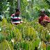 Durian Menoreh Ber - SNI dan Bersertifikat